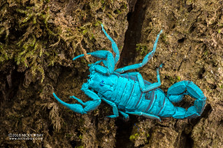 Scorpion (Grosphus sp.) - DSC_8811
