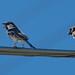 sparrow-20180621-100