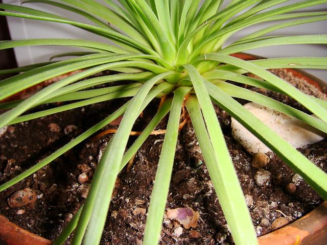 Розетка листьев агавы, Sony DSC-T200