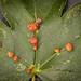 Gall Mite sp. - Aceria macrochela