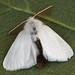 Brown-tail (Euproctis chrysorrhoea) ♂.