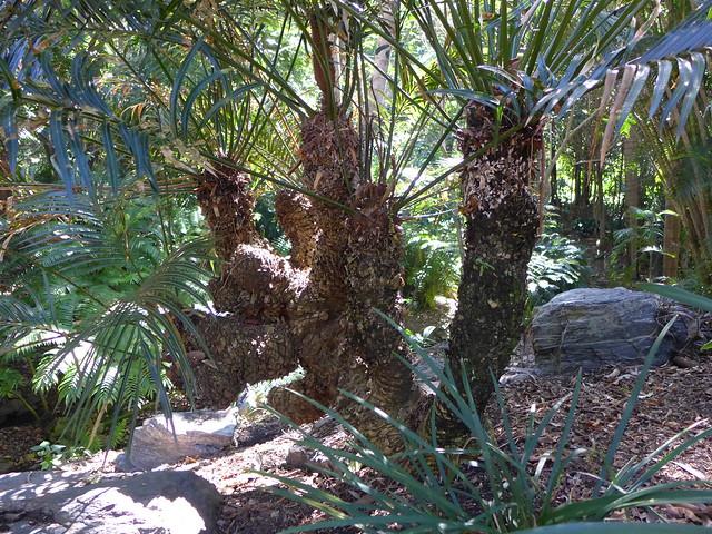 Multiply branched specimen of Cycas circinalis