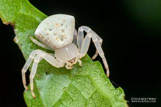 Crab spider (Cyriogonus sp.) - DSC_6872