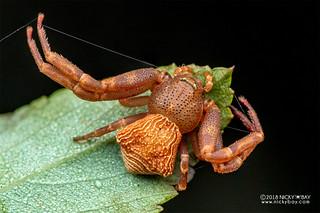 Crab spider (Cyriogonus sp.) - DSC_6735