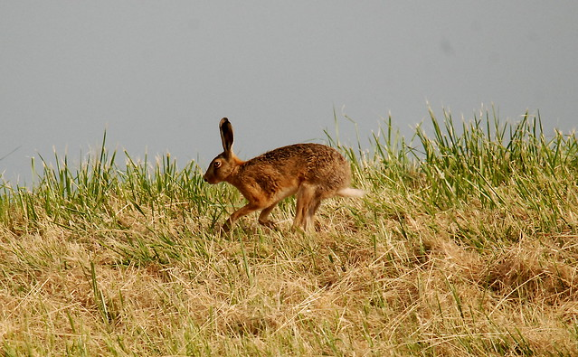 Brown Hare., Nikon D80, Sigma 150-500mm F5-6.3 DG OS APO HSM