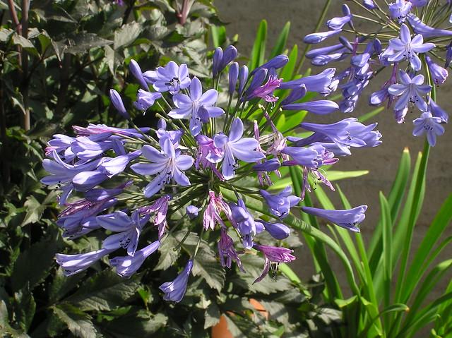 Agapanthus 'Headbourne Hybrids'