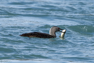 Red-throated Loon 30