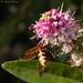 Volucella zonaria ♀ ventral view..
