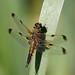 Four-spotted chaser f praenubila