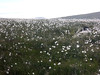 Cotton grass on Gt Dodd
