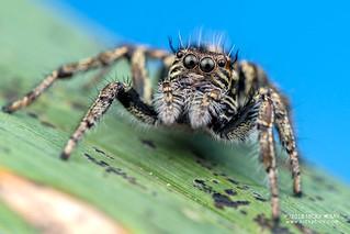 Jumping spider (Hyllus cf. argyrotoxus) - DSC_3155