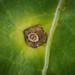 Ramularia armoraciae