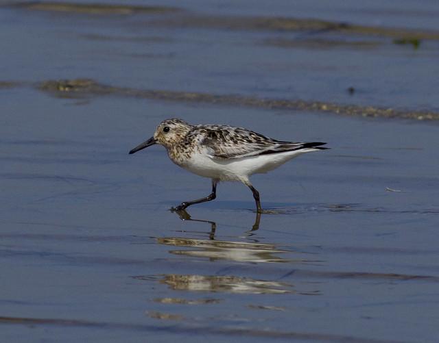 Ejemplar adulto a mediados de verano en la Bahía de Santander. Autor: Javier Aizcorbe