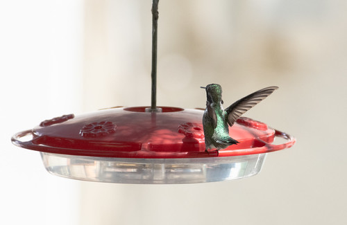 hummingbird_feeder-20180819-104