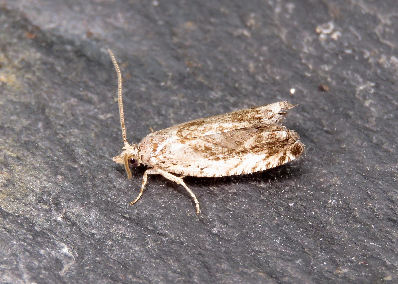 49.249 Small Birch Bell - Epinotia ramella