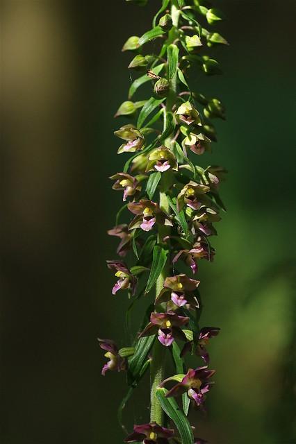 Broad-leaved Helleborine - Epipactis helleborine.