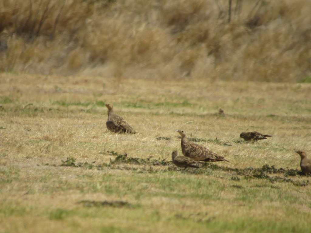 Chestnut-Bellied Sandgrouse 7/29/18