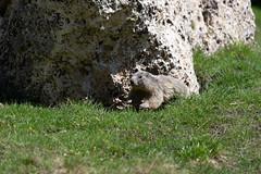 Marmotte dans le cirque du Morgon