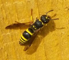 Wasps & Sawflies
