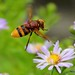 Hover Fly..... by law_keven