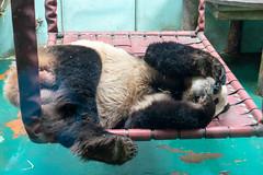 Panda lazing