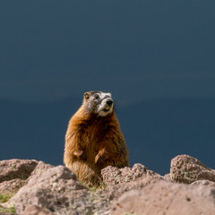 1808 Marmot on Brian Head in Dixie National Forest