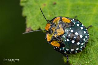 Stink bug nymph (Pentatomidae) - DSC_6774