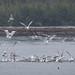 Herring and Bonaparte's Gull Feeding Frenzy - Herring Bait Ball by Turk Images