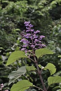 Plectranthus ecklonii (Labiatae / Lamiaceae)