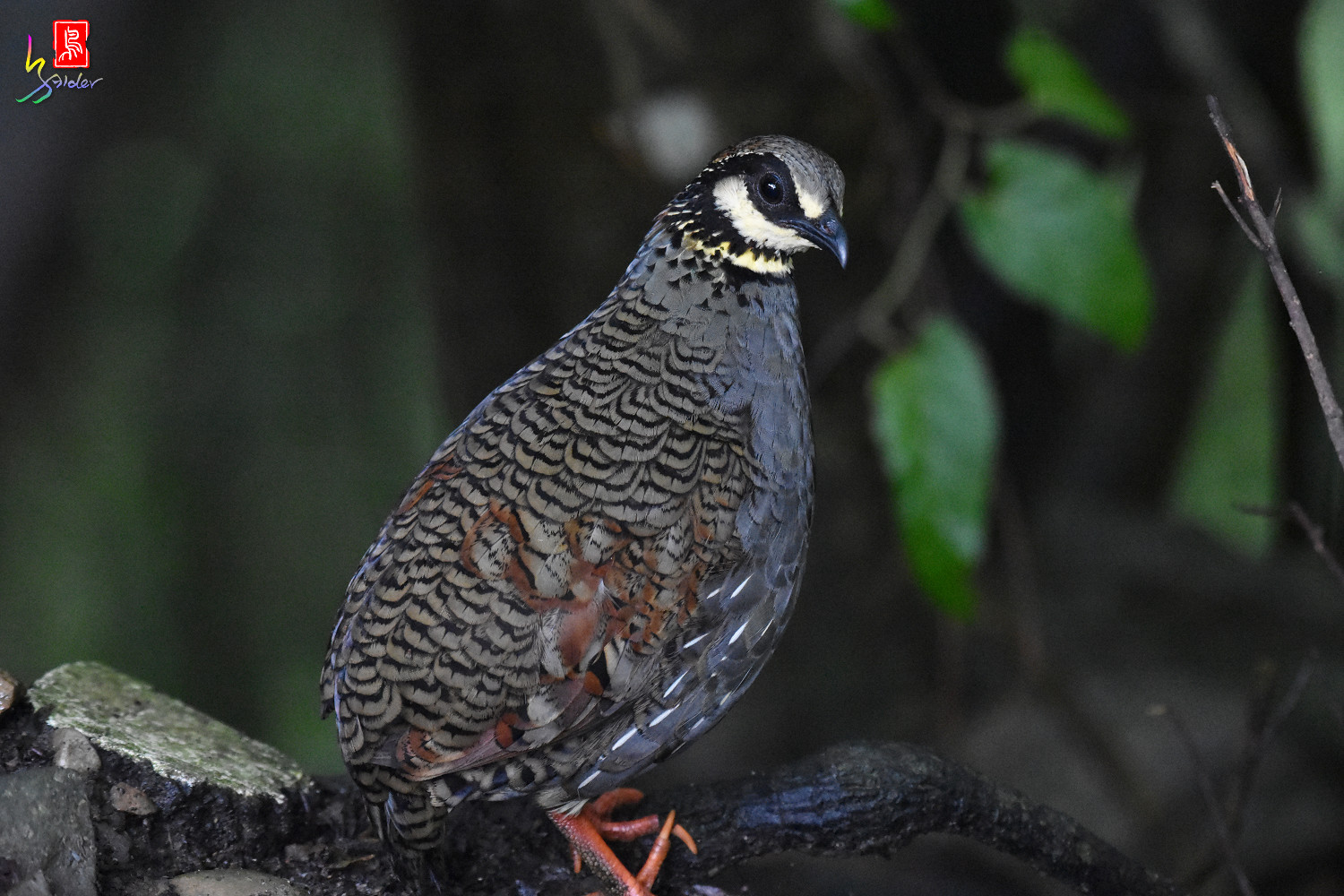 Taiwan_Hill_Partridge_7040