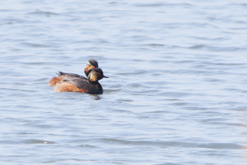 Black Necked Grebes