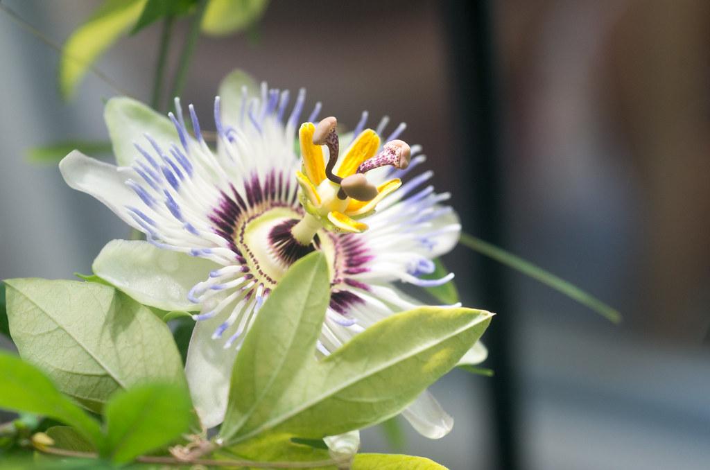 Passionsblume, Passiflora