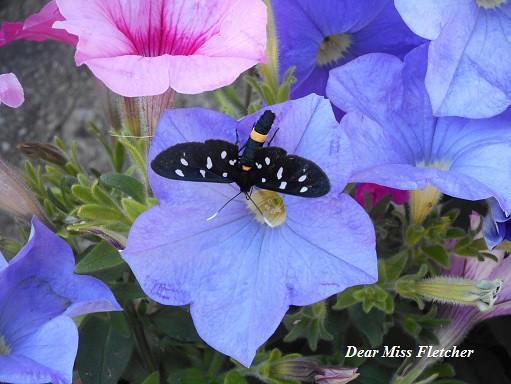 Farfalla (7)