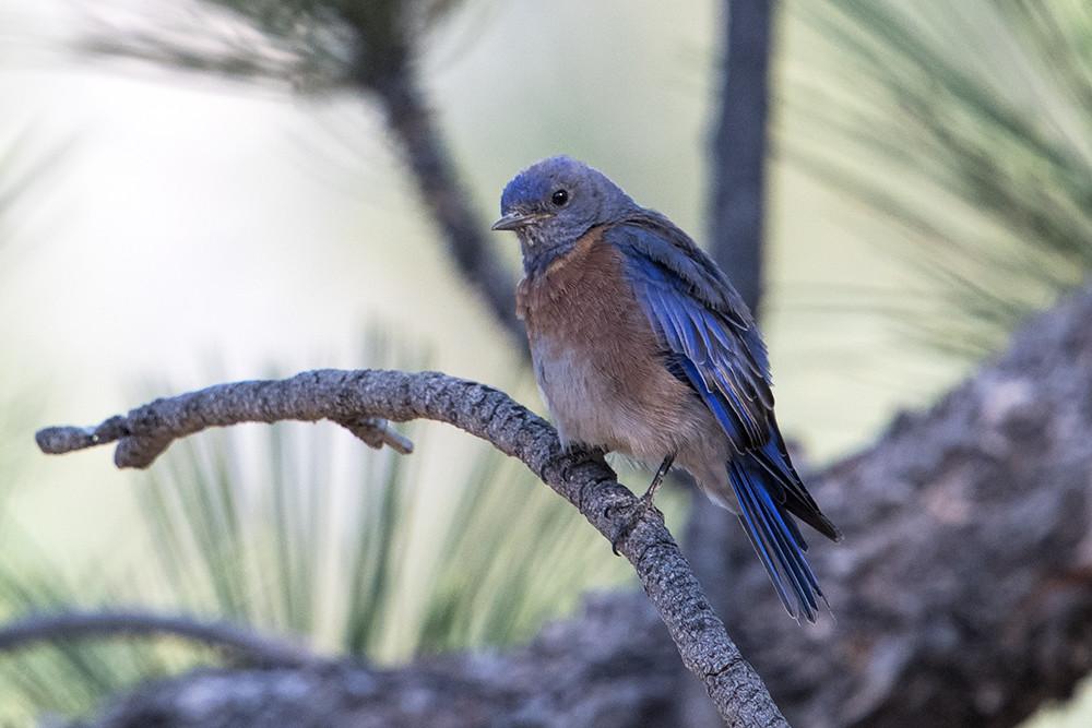 Chialo V.C.: Western Bluebird