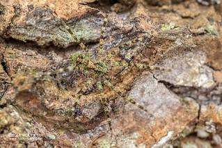 Wandering spider (Viridasiidae) - DSC_8601