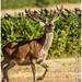 Red Deer male Stag  -  Cervus elaphus / Taken at Bradgate Park Northwest of Leicester - UK