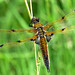 Four-spotted Chaser ... Libellula quadrimaculata by AndyorDij