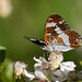 White admiral nectaring on bramble (Shapwick Heath)
