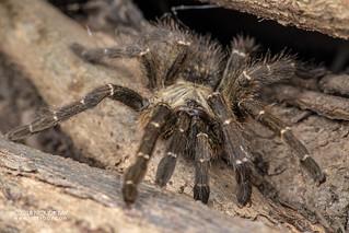 Baboon tarantula (cf. Pterinochilus murinus) - DSC_3048