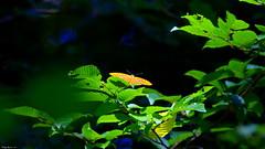 Tabac d'Espagne (Argynnis paphia) - Photo of Faverolles