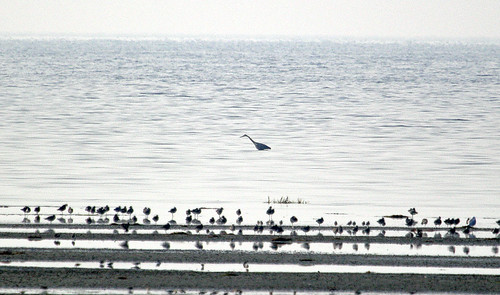Great Blue Heron et al