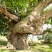 Ancient sweet chestnut
