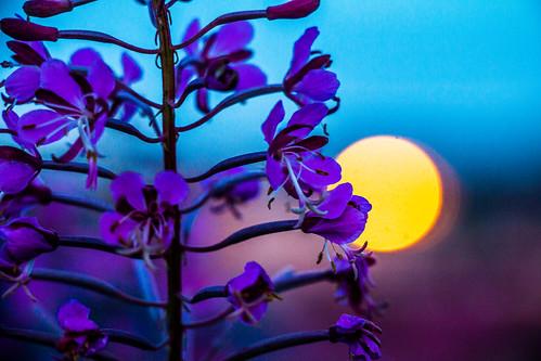 haugesund norway sunset flowers