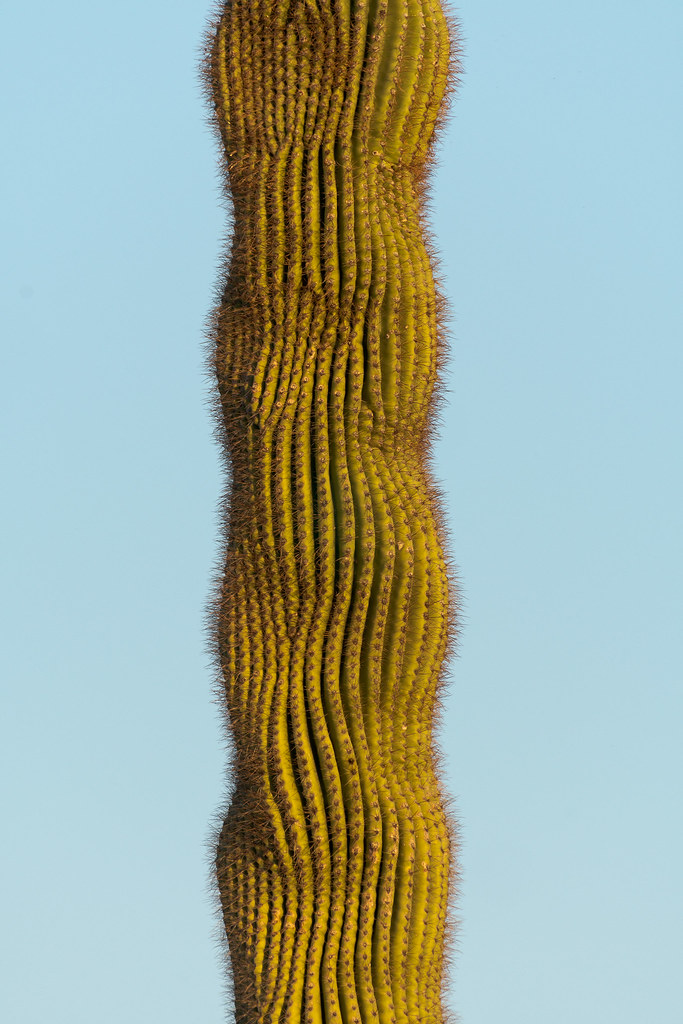 A wavy pattern in a saguaro cactus along Brown's Ranch Road in McDowell Sonoran Preserve in Scottsdale, Arizona