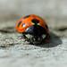 11-spot ladybird
