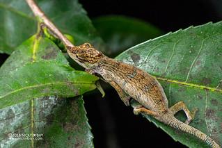 Nose-horned chameleon (Calumma nasutum) - DSC_6693