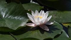 HolderWhite Water-lily
