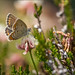 Argus-Bläuling (Silver-studded blue) by tzim76