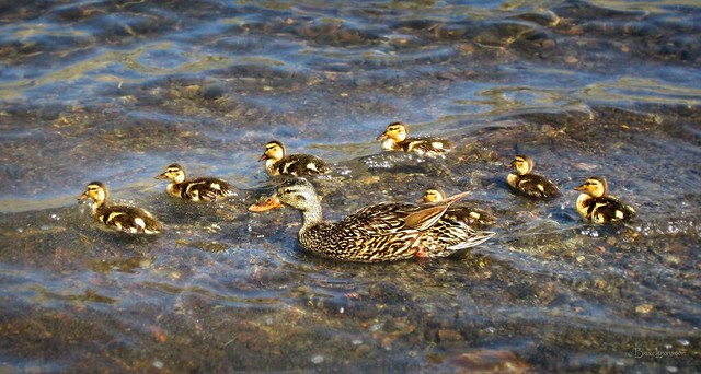 Mallard Duck and Ducklings, Canon POWERSHOT ELPH 300HS
