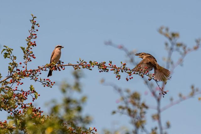 Red-Backed Shrike Pair
